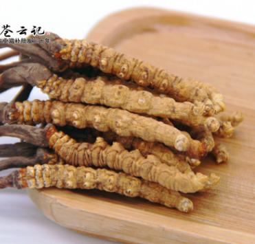 西藏那曲冬虫夏草 4000条 2016年新草