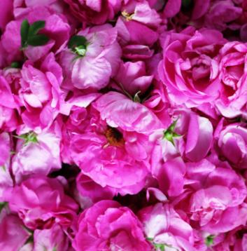 法国千叶玫瑰纯露200ml天然 补水保湿爽肤水精油花水喷雾