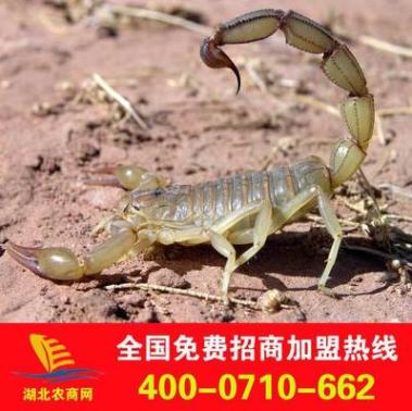 大量供应蝎子活体种苗 蝎子养殖效益高 免费提供技术指导