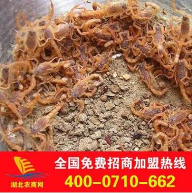 大量供应批发蝎子干品 2015全蝎新品种 优质 厂家直销