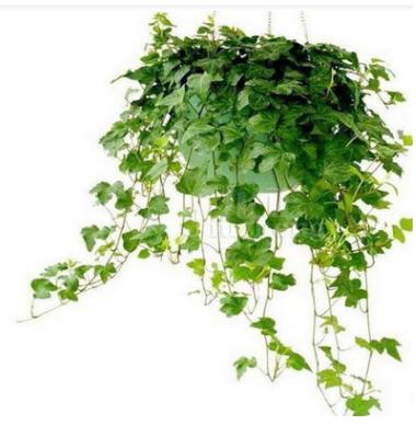 常春藤提取物 35%总皂甙