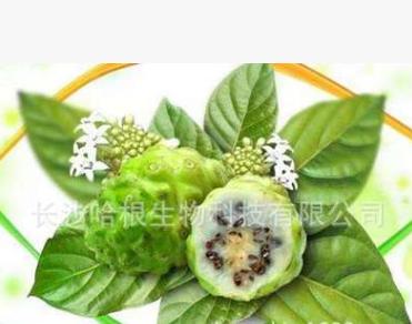 厂家供应 诺丽果粉 Noni Fruit Powder 含商检